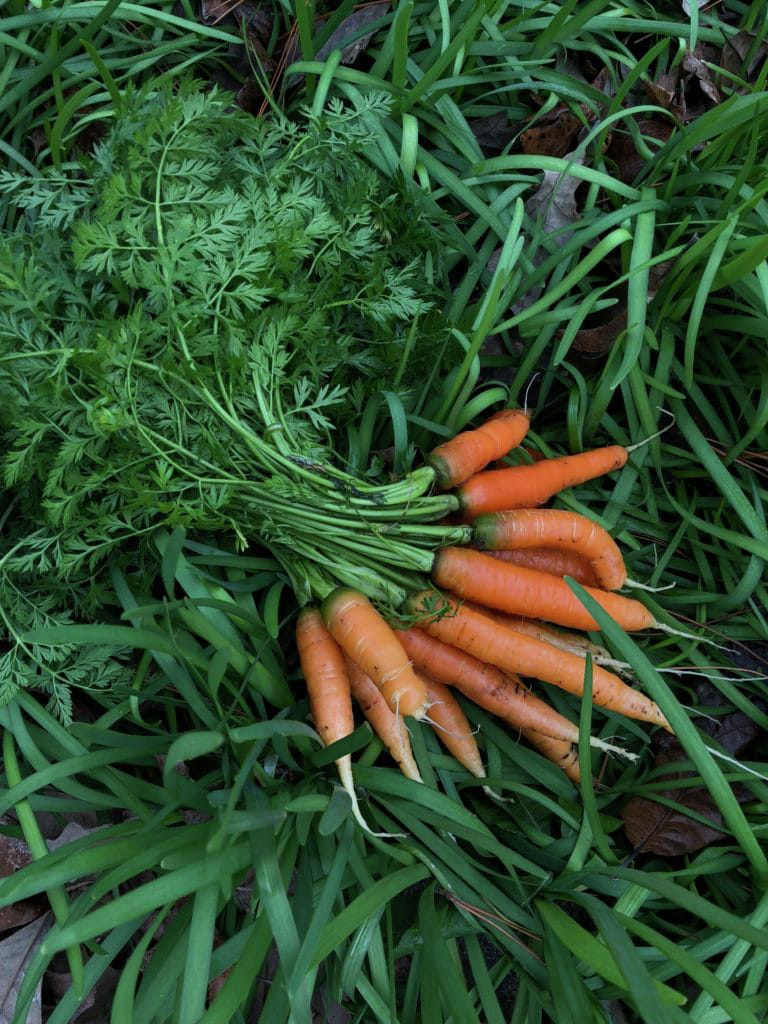 How to Plant and Grow Carrots in Houston