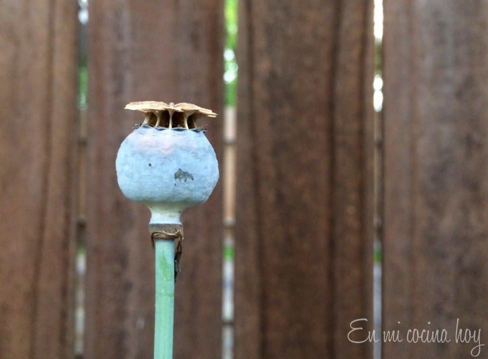 Semilla de amapola madura